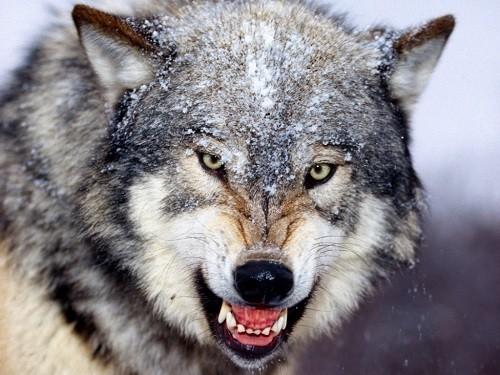 狼よりも強い犬 オオカミvs犬の...