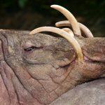 奇怪な長い牙を持つ謎の生物「バビルサ」の正体