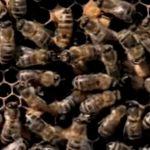 ミツバチなのに攻撃性が高い!?「アフリカナイズドミツバチ」の恐怖