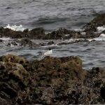 鳥の世界の長距離ランナー「キョクアジサシ」