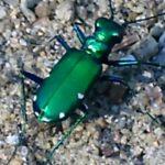 砂浜で見かける足の細い虫「カワラハンミョウ」って何者?
