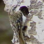 小さくてかわいい「キバシリ」ってどんな鳥?