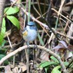 鮮やかな青色の鳥「ルリビタキ」の鳴き声って?