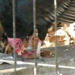 臭いと評判の「ヒメコンドル」ってどんな鳥?