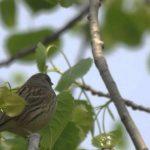 黄緑色のかわいい野鳥「アオジ」の鳴き声って?