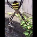 やたらデカい蜘蛛「コガネグモ」って知ってる?