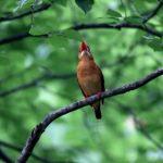 真っ赤な野鳥アカショウビンの鳴き声って?