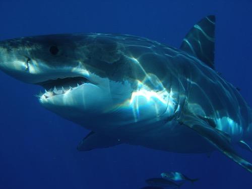 最大 ホオジロザメ