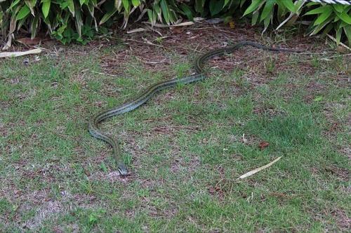 シマヘビの画像 p1_16