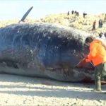 「クジラ」って死ぬと爆発・破裂するって本当?