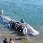 「クジラ」の座礁と地震の関係