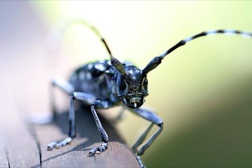 えさ カミキリムシ カミキリ虫はエサに何食べる?幼虫を飼育するコツや寿命は?