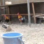 鶏の祖先「セキショクヤケイ(赤色野鶏)」