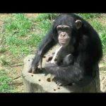 チンパンジーの知能ってどれくらい?