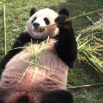 パンダの天敵って?