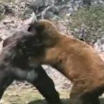 熊の天敵って?