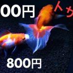 「金魚」の寿命ってどれくらい?