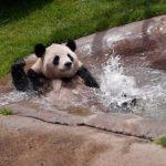 パンダの寿命ってどれくらい?