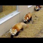 レッサーパンダの寿命ってどれくらい?