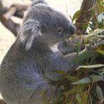 コアラの寿命ってどれくらい?