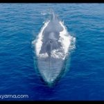 シロナガスクジラについて