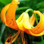 クルマユリってどんな花が咲く?