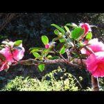 寒椿ってどんな花が咲くの?