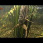 タガメの幼虫について