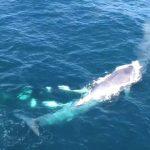 シロナガスクジラってシャチに襲われることもある?