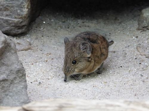 トガリネズミの画像 p1_32